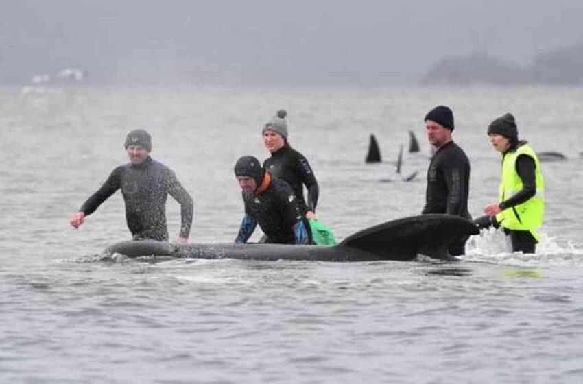 Un tercio de 270 ballenas varadas en Australia han muerto, según rescatistas