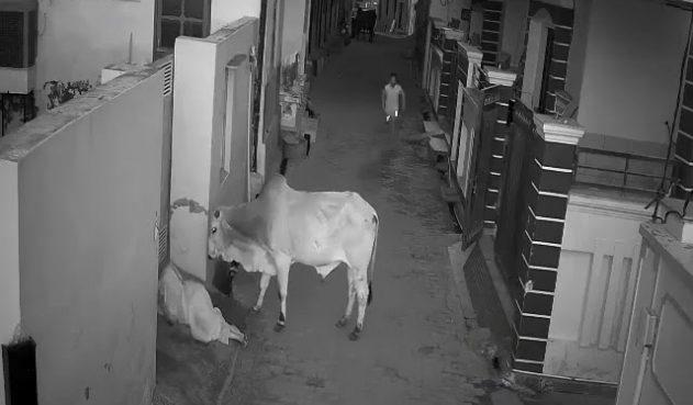 Video de niño que salvó a su abuela de salvaje ataque de un toro