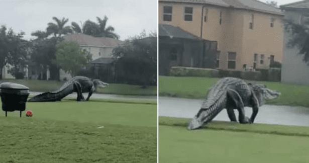 [Video] Avistan a «monstruoso» cocodrilo en un campo de golf durante el huracán Eta