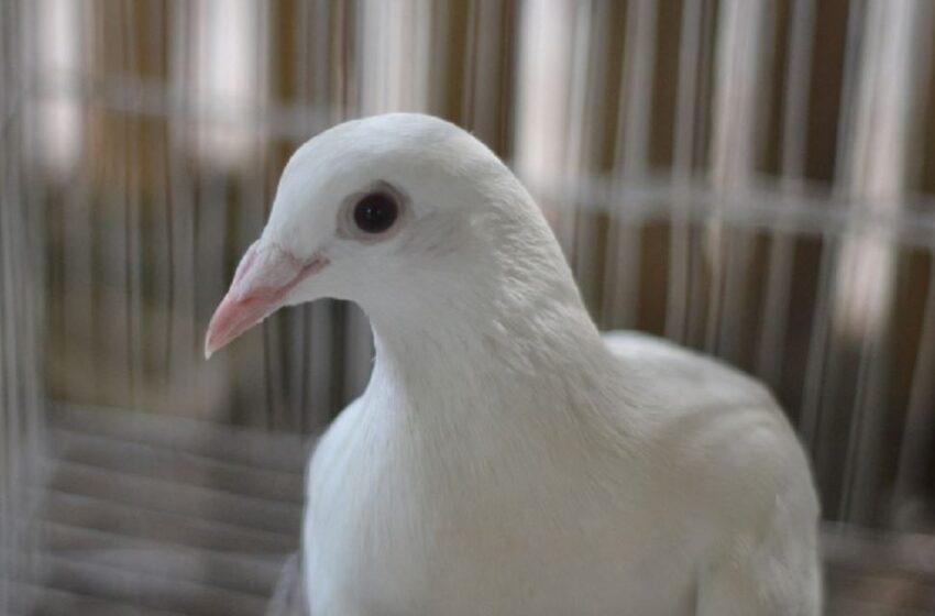 Compran una paloma mensajera por casi 7.000 millones de pesos