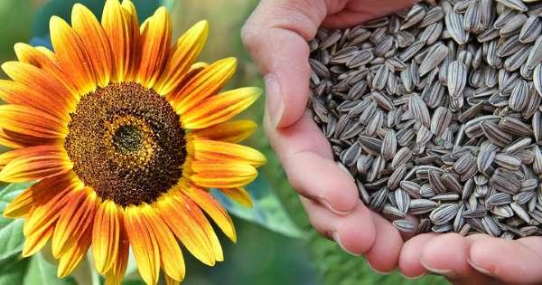 Semillas de girasol desintoxican y limpian el organismo