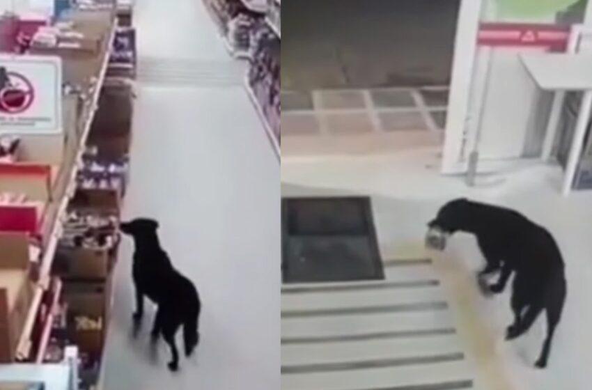 [Video] Perro 'ladrón' se llevó paquete de D1, y se limpió las patas antes de salir