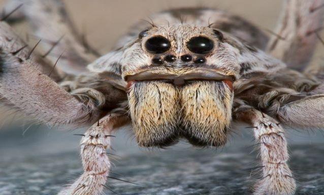 Millones de arañas invaden casas en Australia escapando de inundaciones