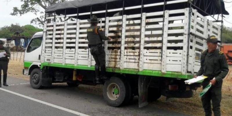 Dos camiones inmovilizados con ganado por falta de guía de movilización del ICA