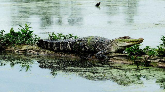 Hombre saltó a lago y luchó cuerpo a cuerpo contra cocodrilo para salvar a su perro