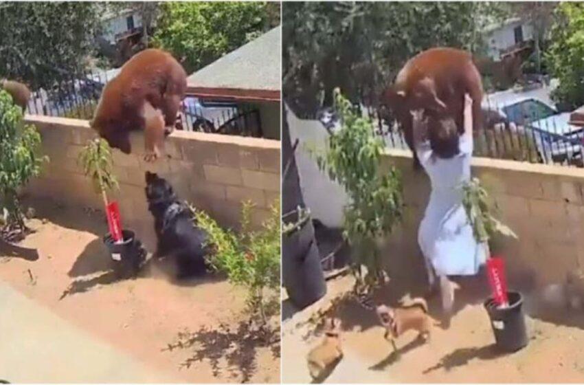 Valiente joven de 17 años enfrenta a oso y lo empuja para salvar a sus perros